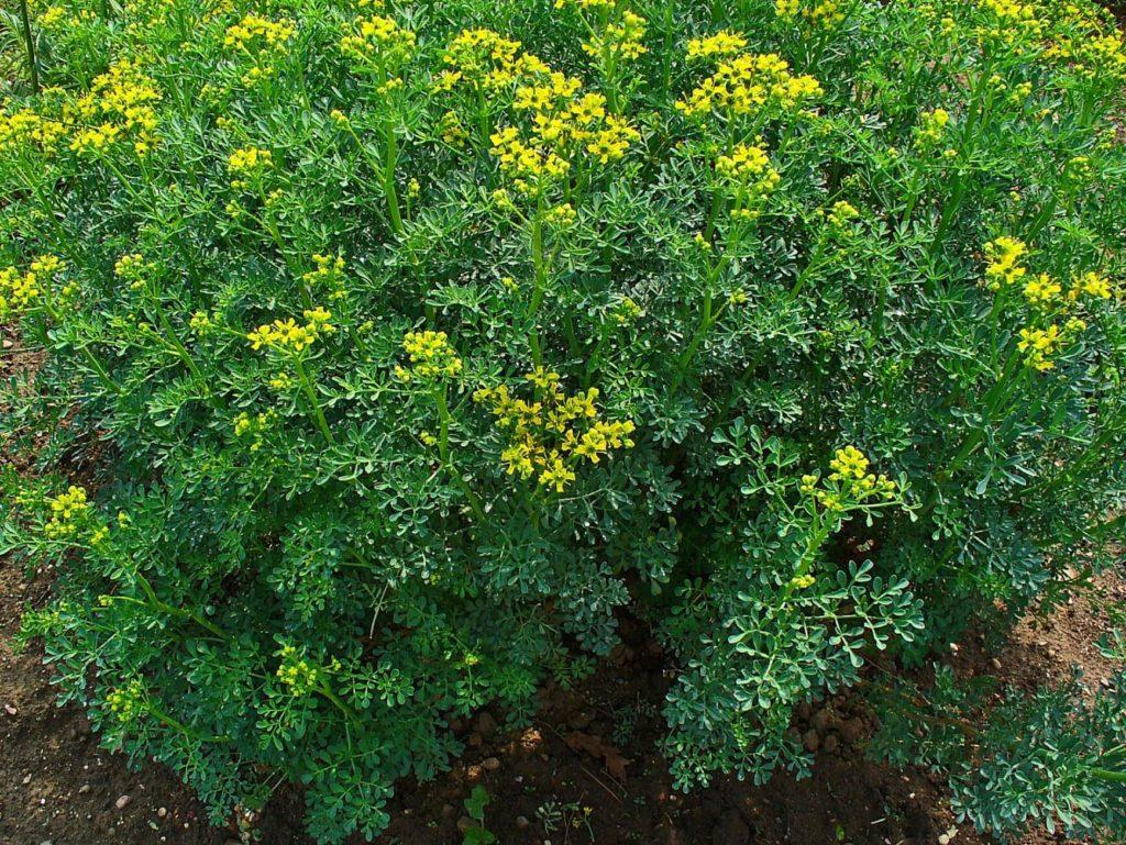 Allergie Planten Huid : Fytofotodermatitis huidarts